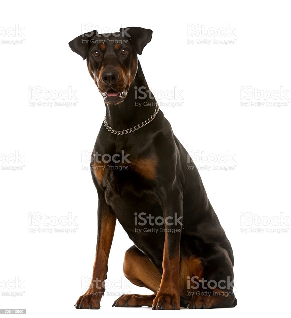 Doberman sitting in front of a white background stock photo