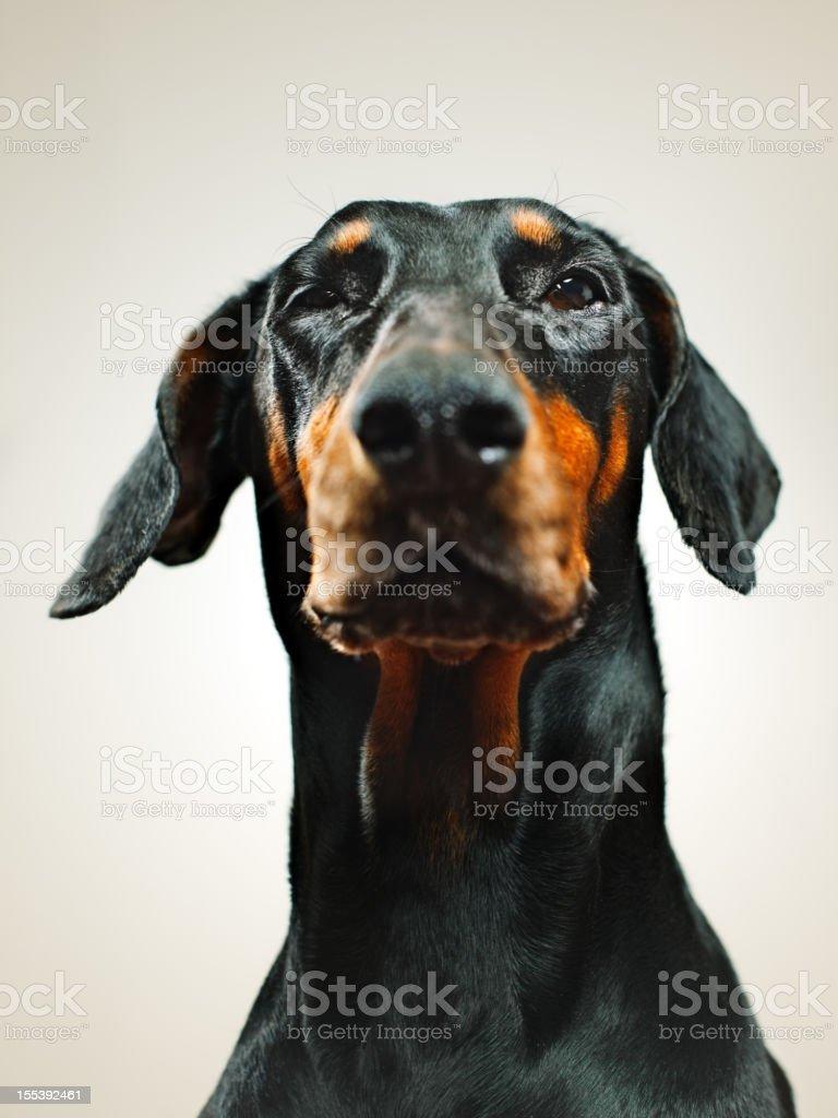 Dobermann royalty-free stock photo