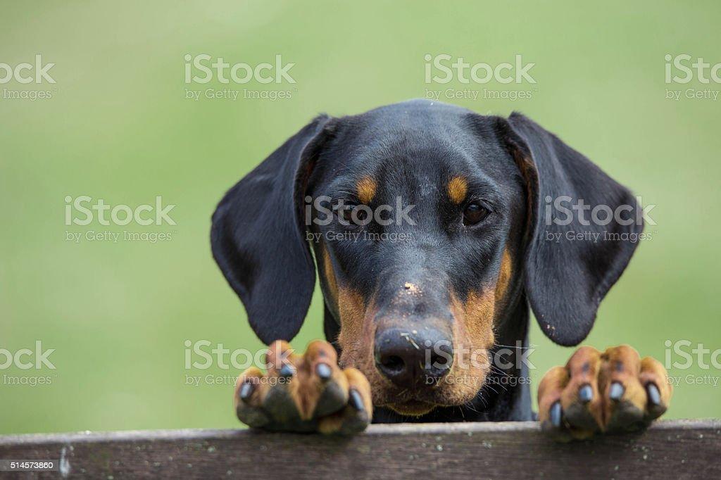 Dobermann stock photo