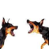 Dobermans barking at each other
