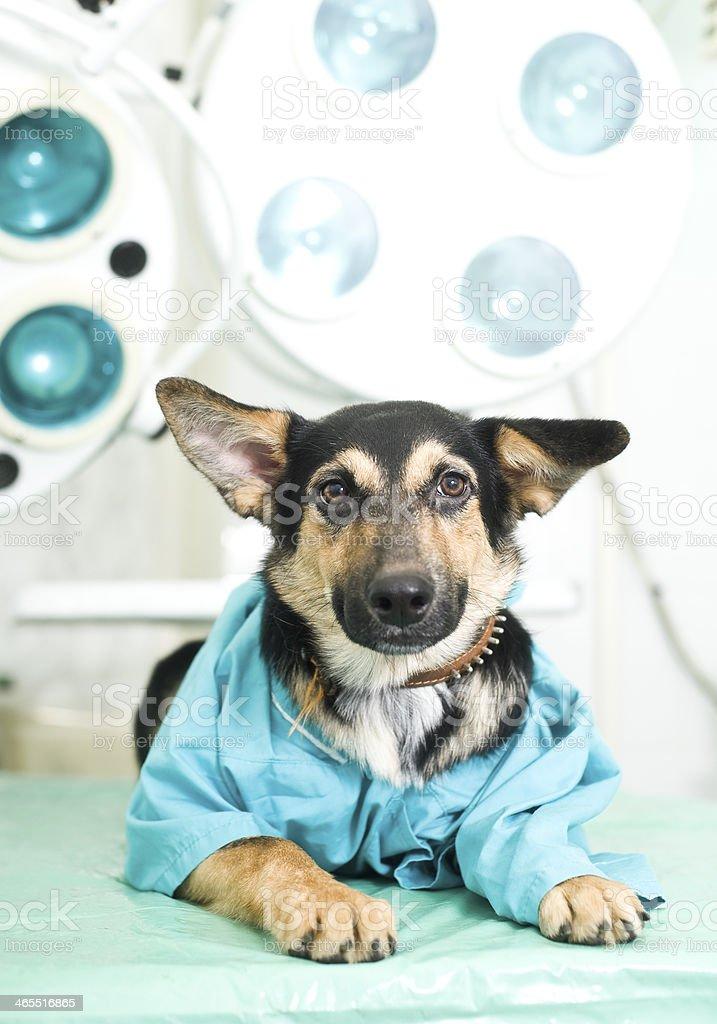 Doctor Doggie stock photo