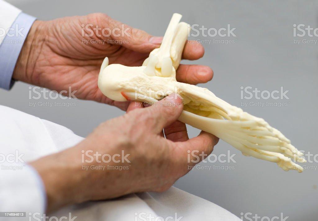 Doctor Holding Foot Skeleton stock photo