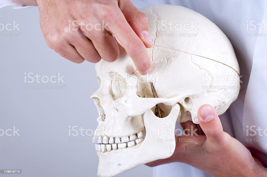 lekarz wyświetlono kość klinowa zdjęcia stockowe 178618713 | istock, Sphenoid