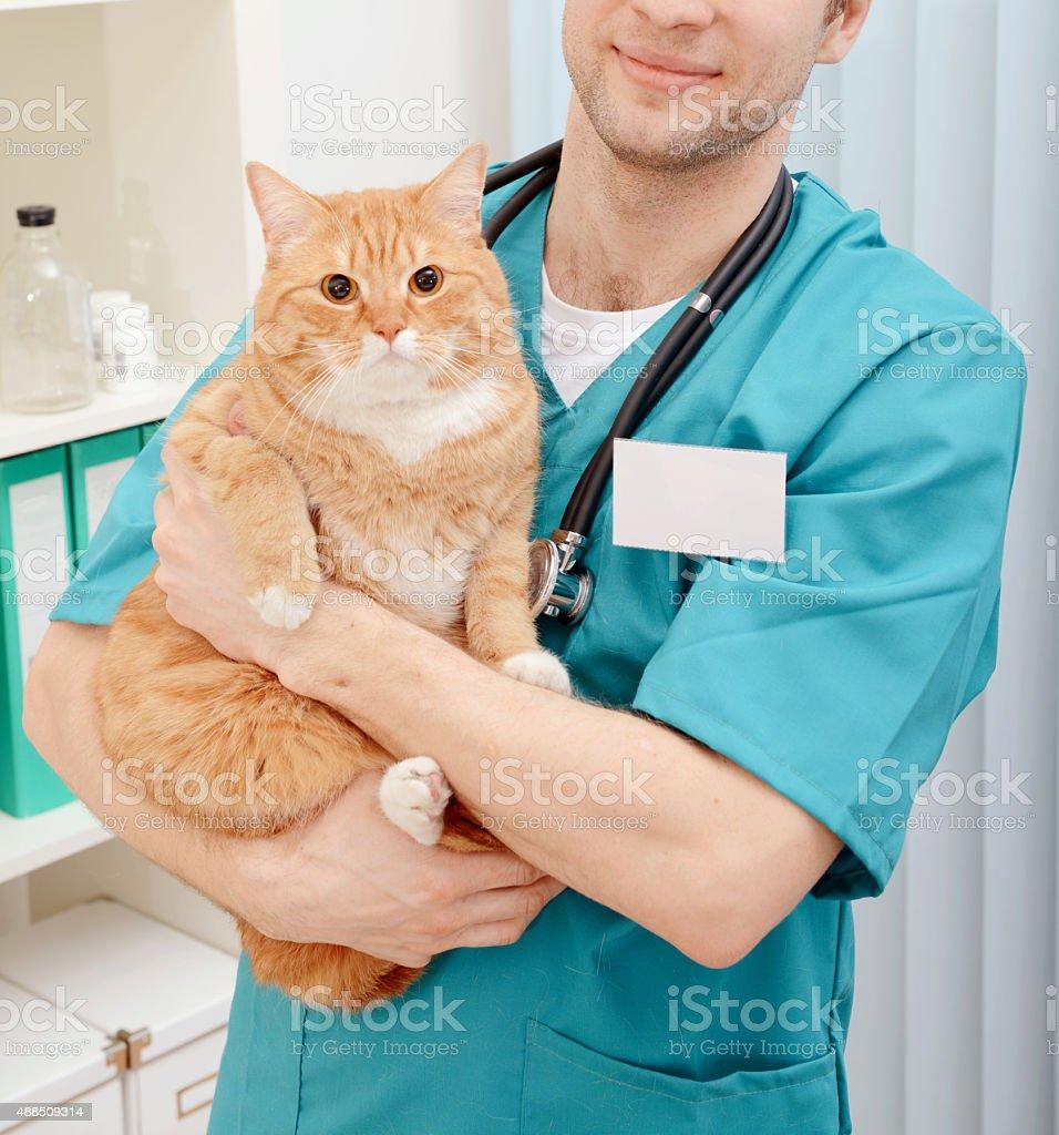 Doctor veterinarian examining beautiful adult cat stock photo