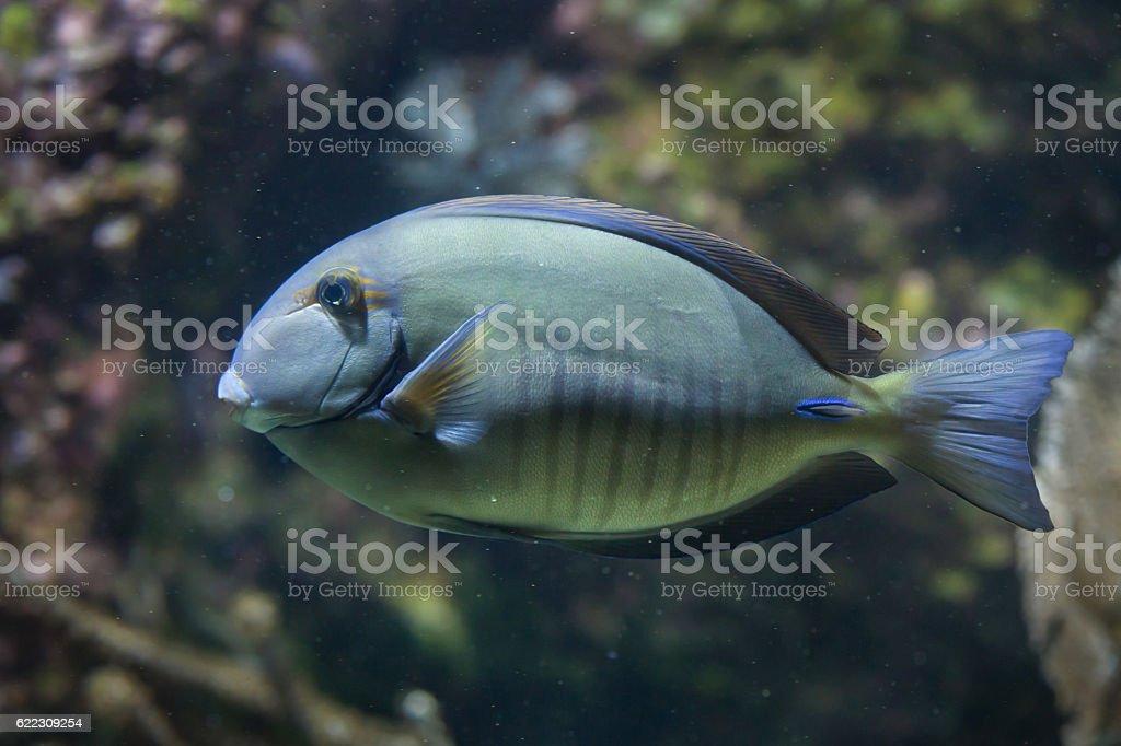 Doctorfish (Acanthurus chirurgus) stock photo
