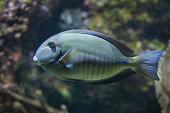 Doctorfish (Acanthurus chirurgus)