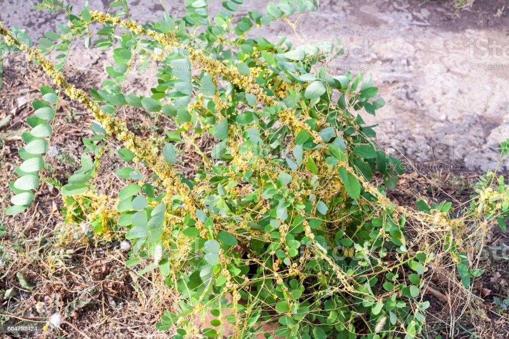 Dodder Genus Cuscuta is a parasitic plant stock photo