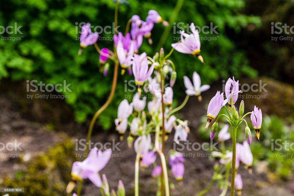 Dodecatheon sp.. stock photo