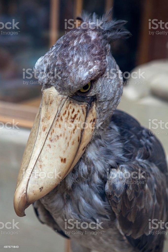 Dodo bird stock photo
