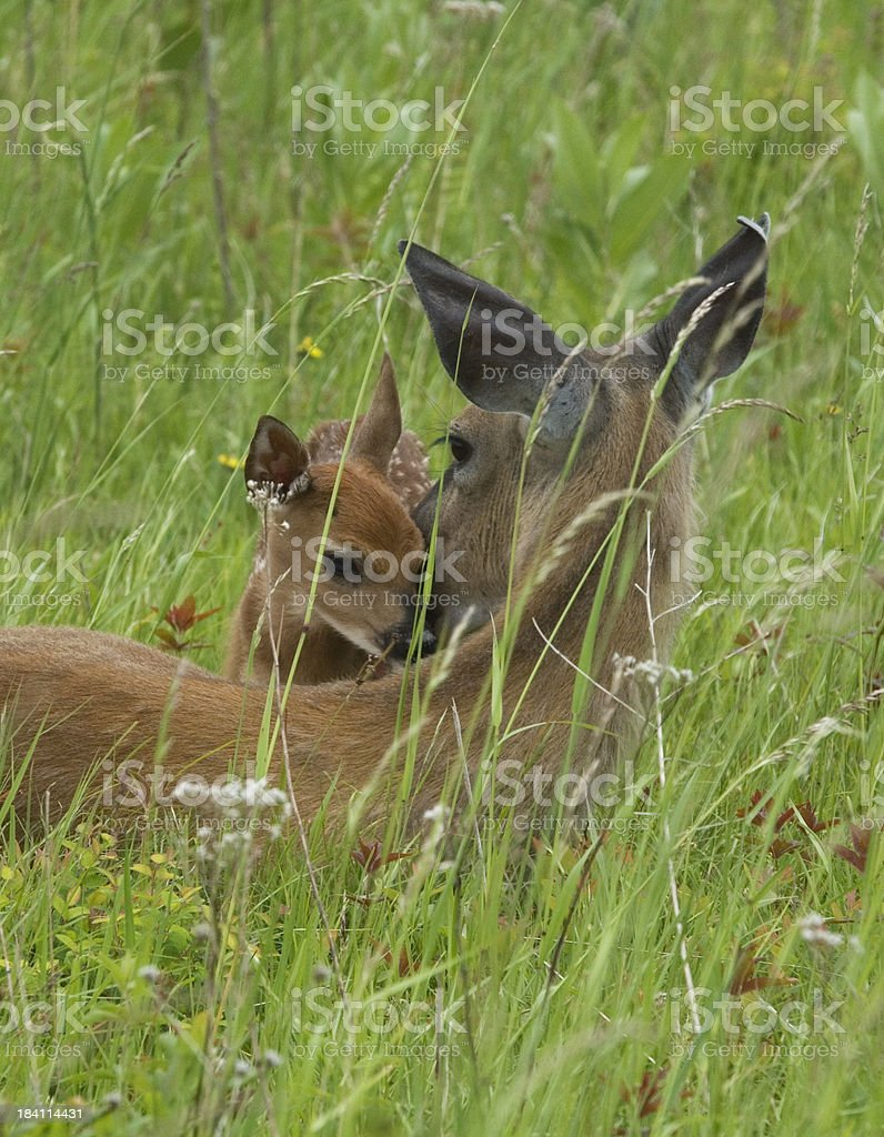 Doe and Fawn Bonding in Spring Grasses royalty-free stock photo