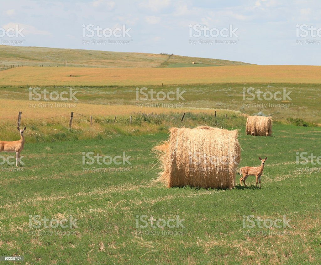 doe and fawn in field with big round bales stock photo
