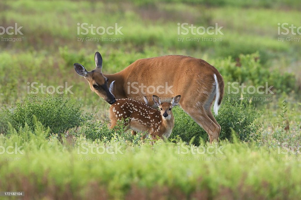Doe and Fawn in the Spring Meadow stock photo