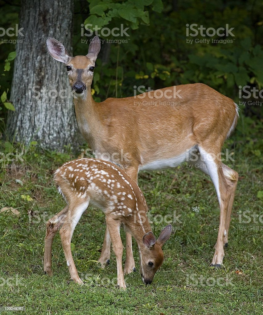 Doe and offspring stock photo