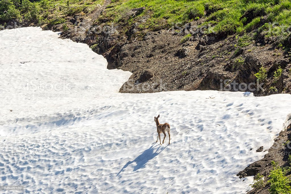 Doe Deer Walking Across Snowfield Washington State Olympic National Park stock photo