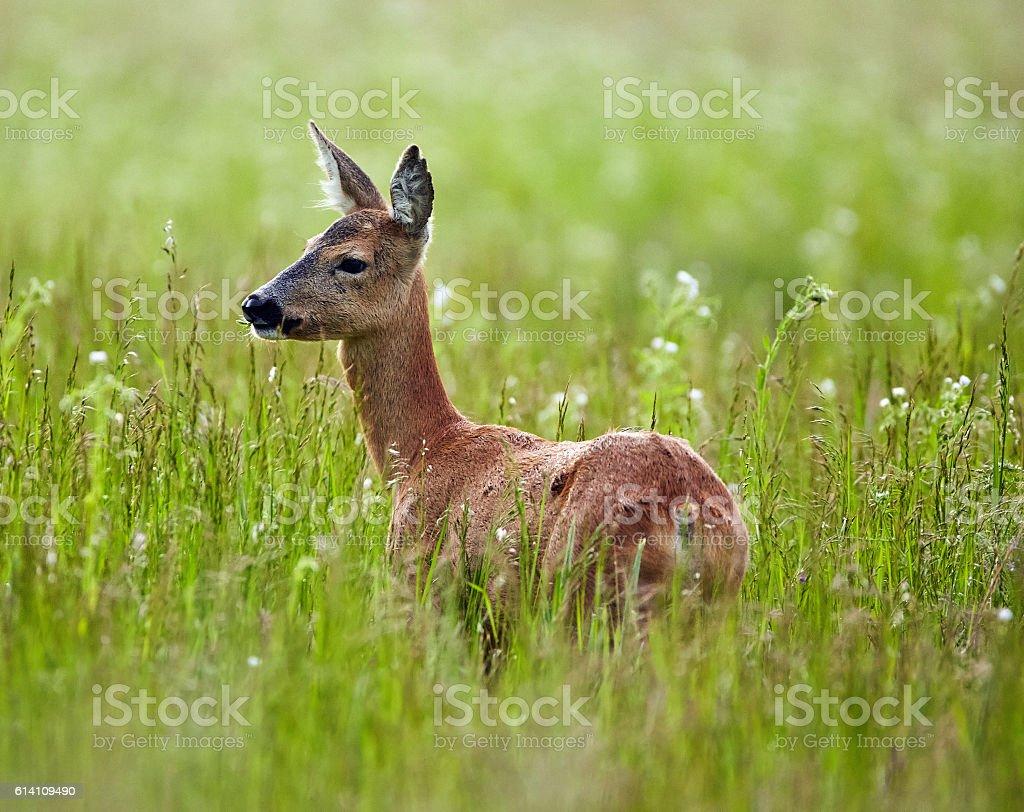 Doe in a grass field stock photo