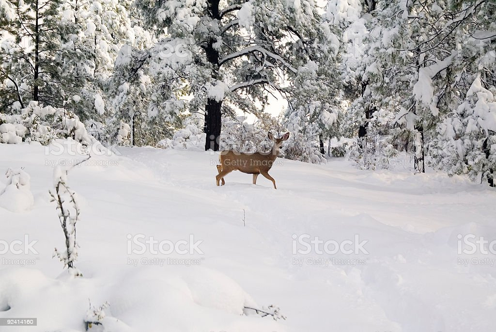 Doe in Fresh Fallen Snow stock photo