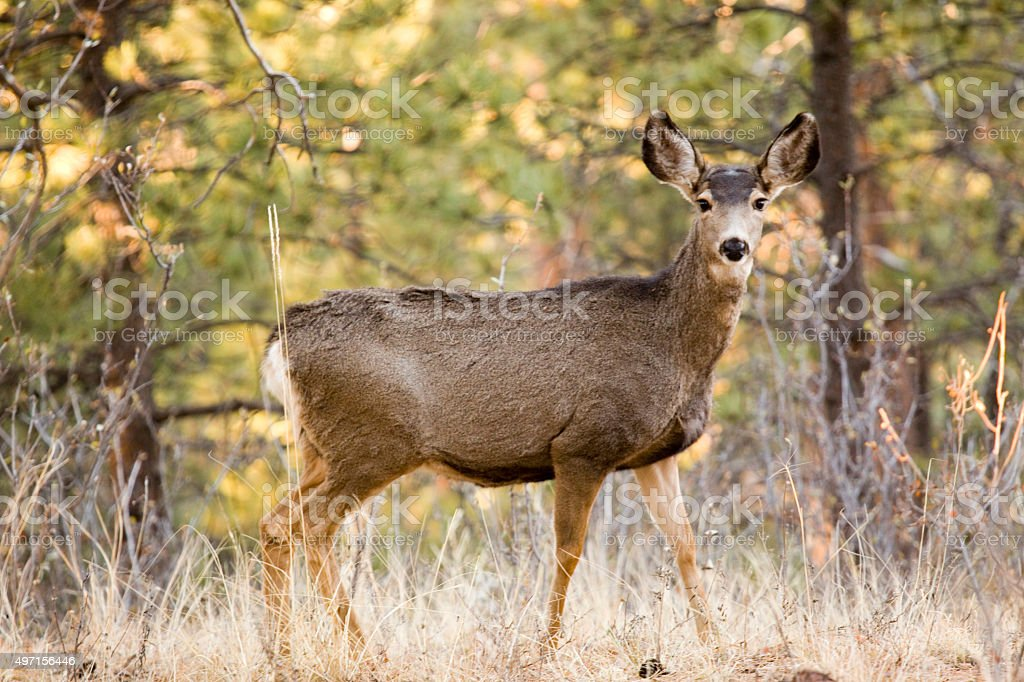 Doe in the Early Morning Sun stock photo