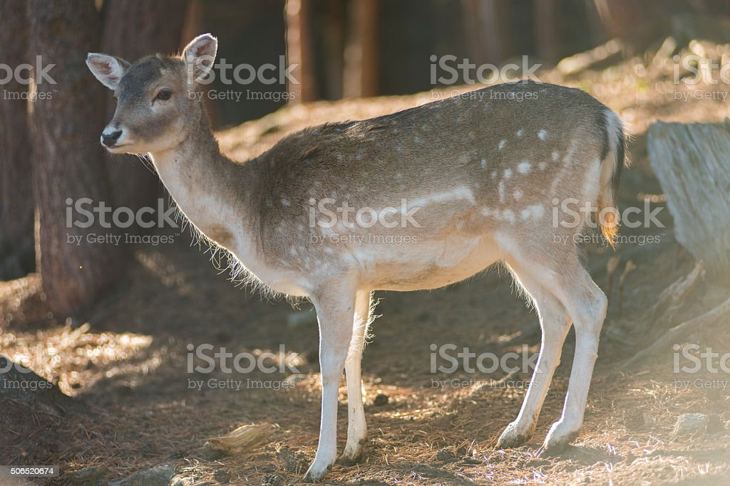 Doe in the forest. stock photo