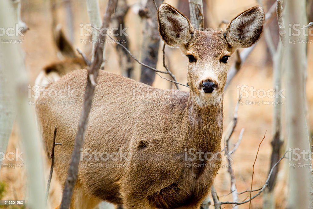 Doe Mule Deer in the Pike National Forest of Colorado stock photo