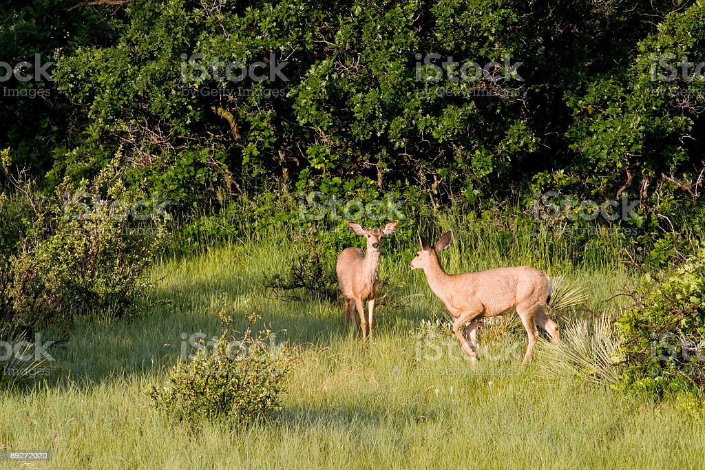 Doe Mule Deer in the Pike National Forest royalty-free stock photo
