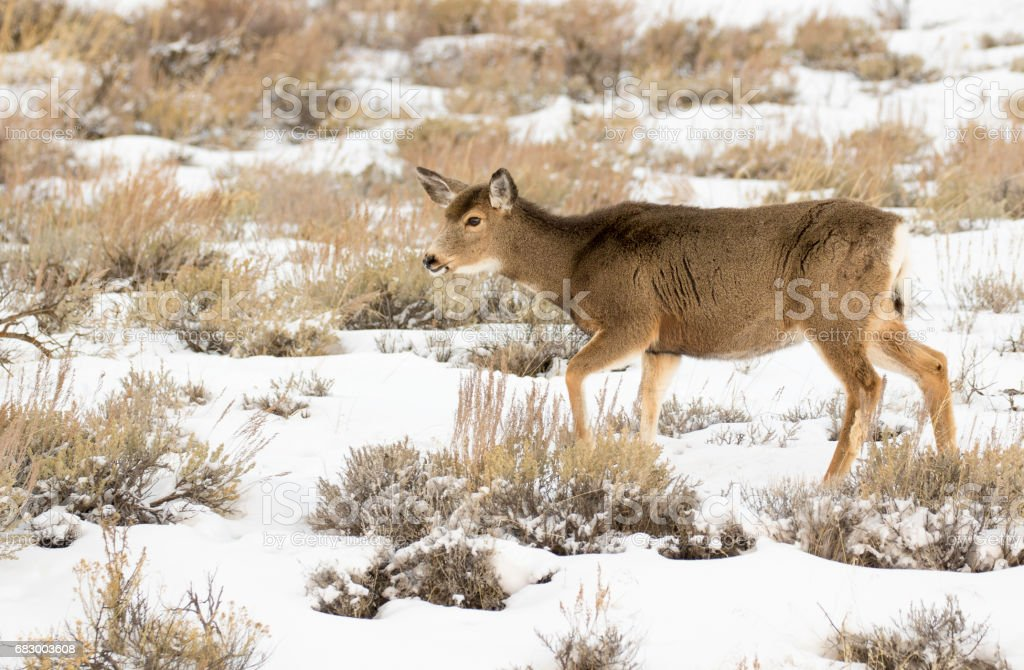 Doe mule deer walking in deep snow in meadow on hill in Tetons stock photo