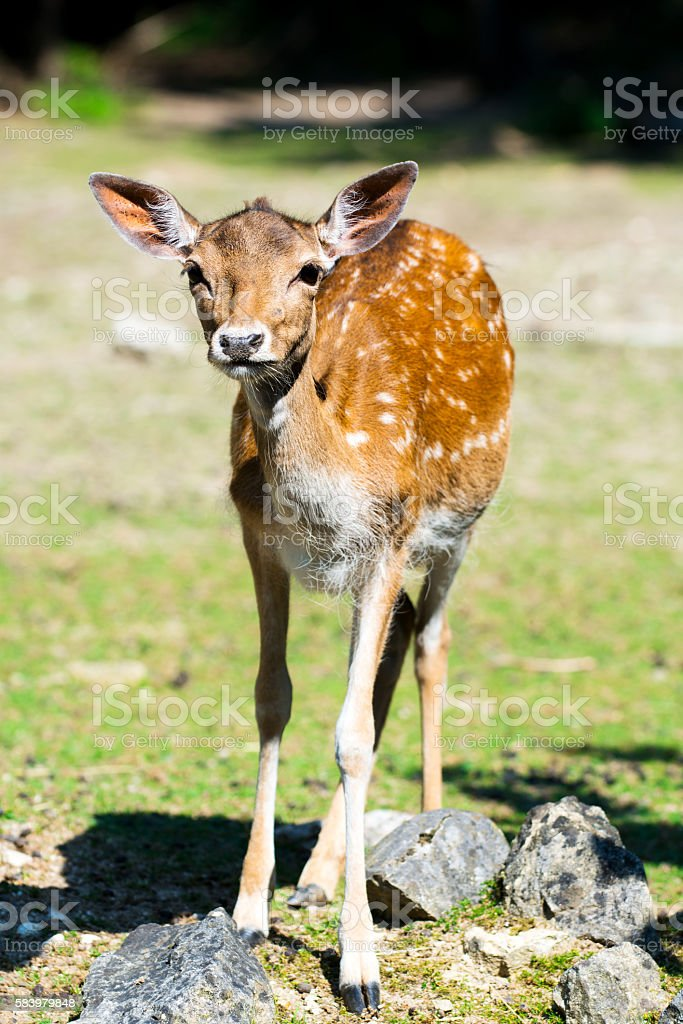 Doe of fallow deer on pasture stock photo