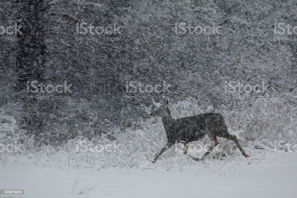 Doe running into brush stock photo
