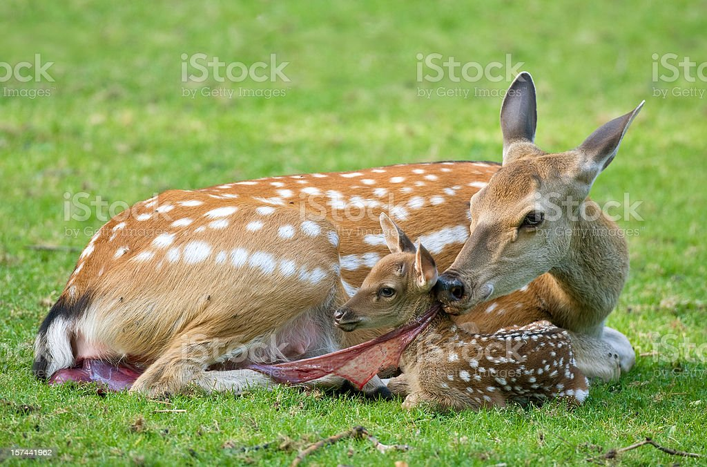 Doe With Newborn Fawn stock photo