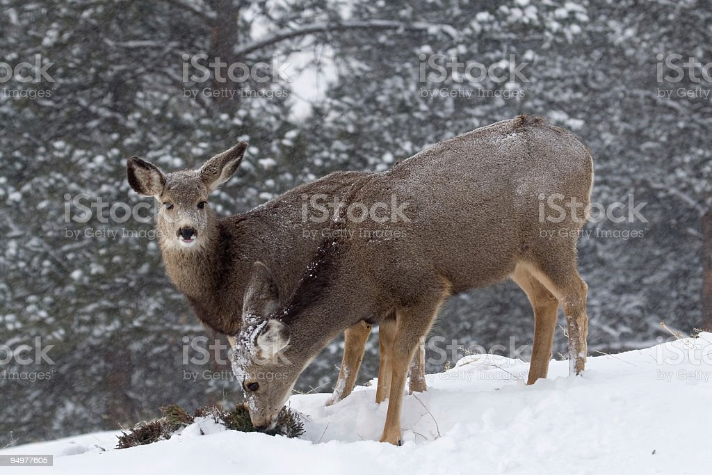 Does Foraging in Winter stock photo