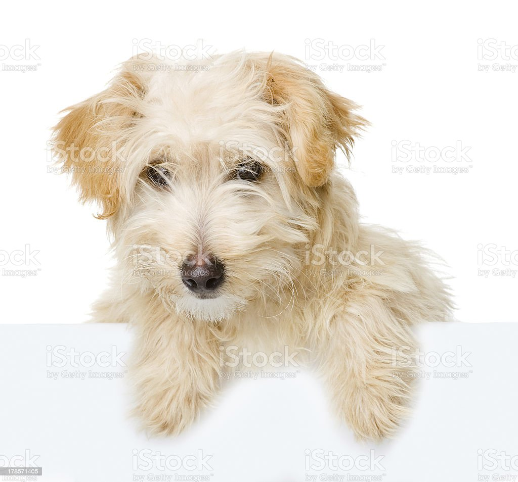Dog above white banner royalty-free stock photo