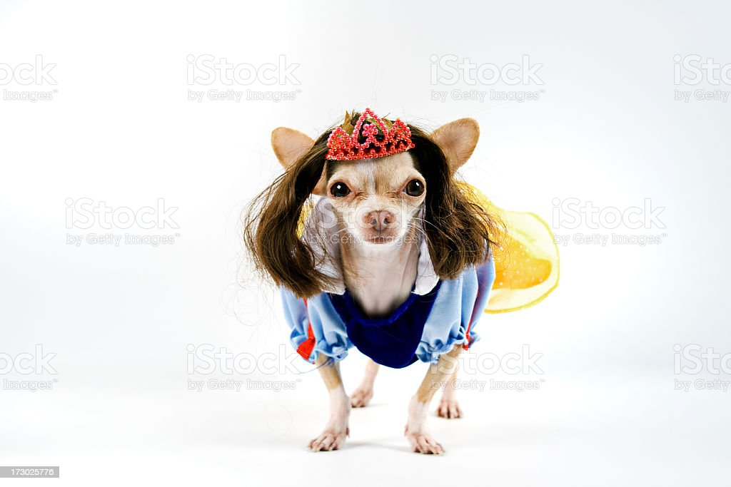 Dog adorably dressed like snow white complete with crown royalty-free stock photo