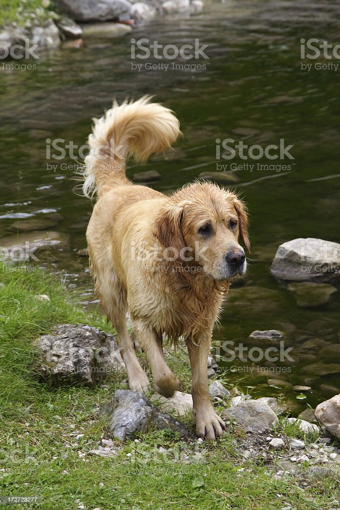 Dog after swimming stock photo