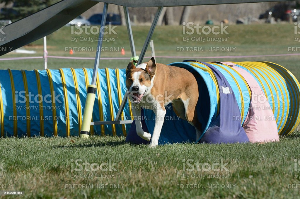 NADAC Dog Agility competition stock photo