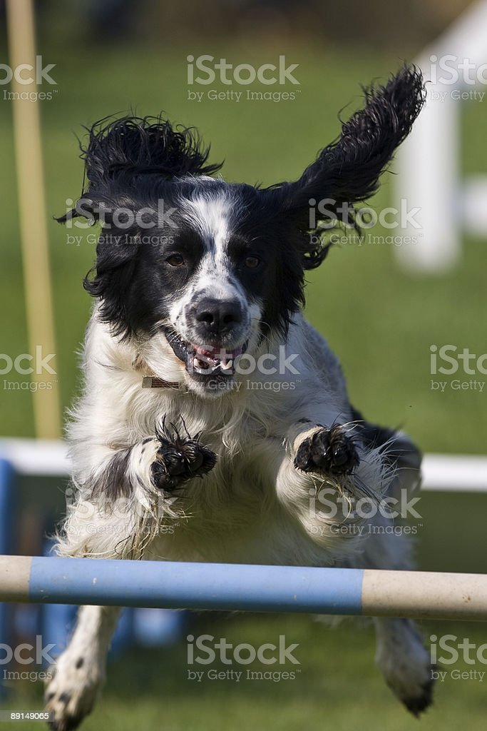 Dog Agility competition stock photo