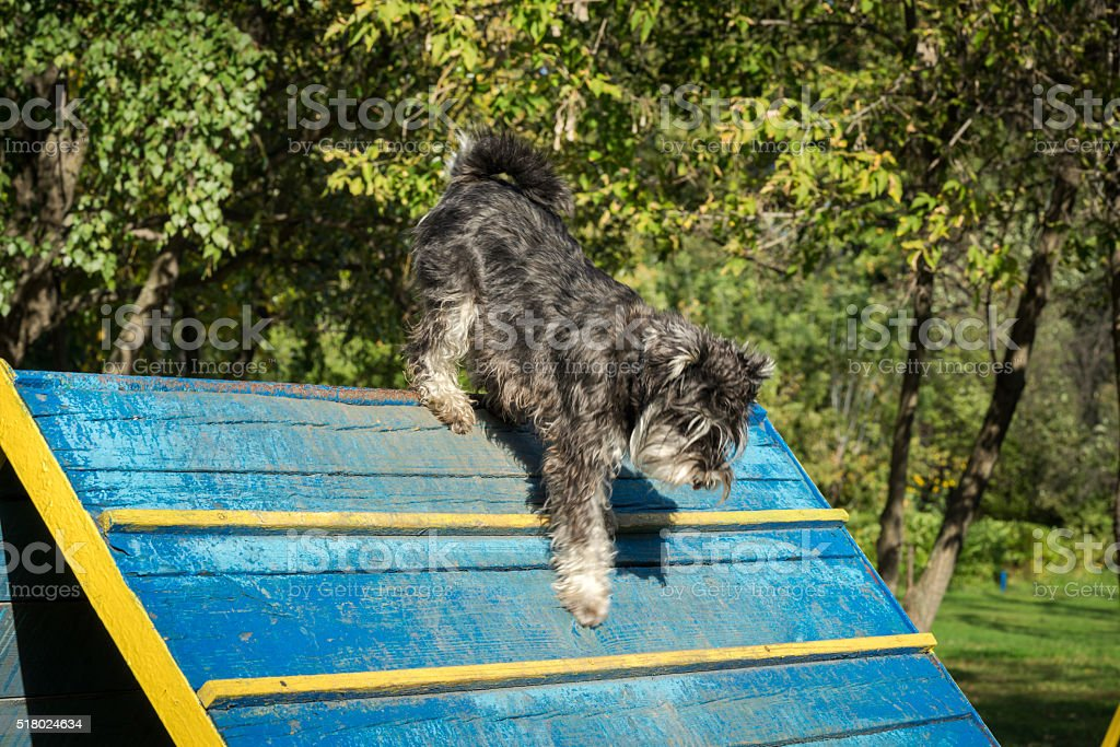 Dog agility - miniature black and silver schnauzer exercising stock photo