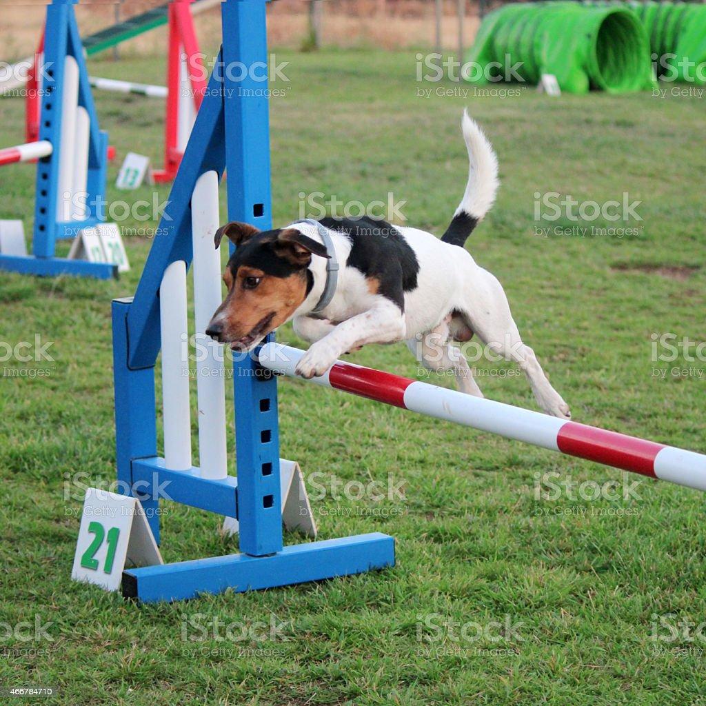 dog agility stock photo