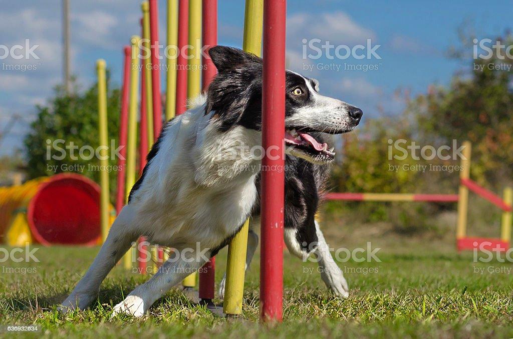 Dog agility slalom stock photo