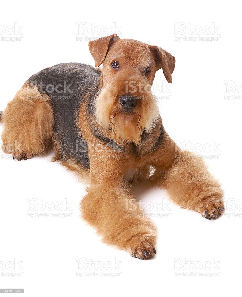 dog Airedale royalty-free stock photo
