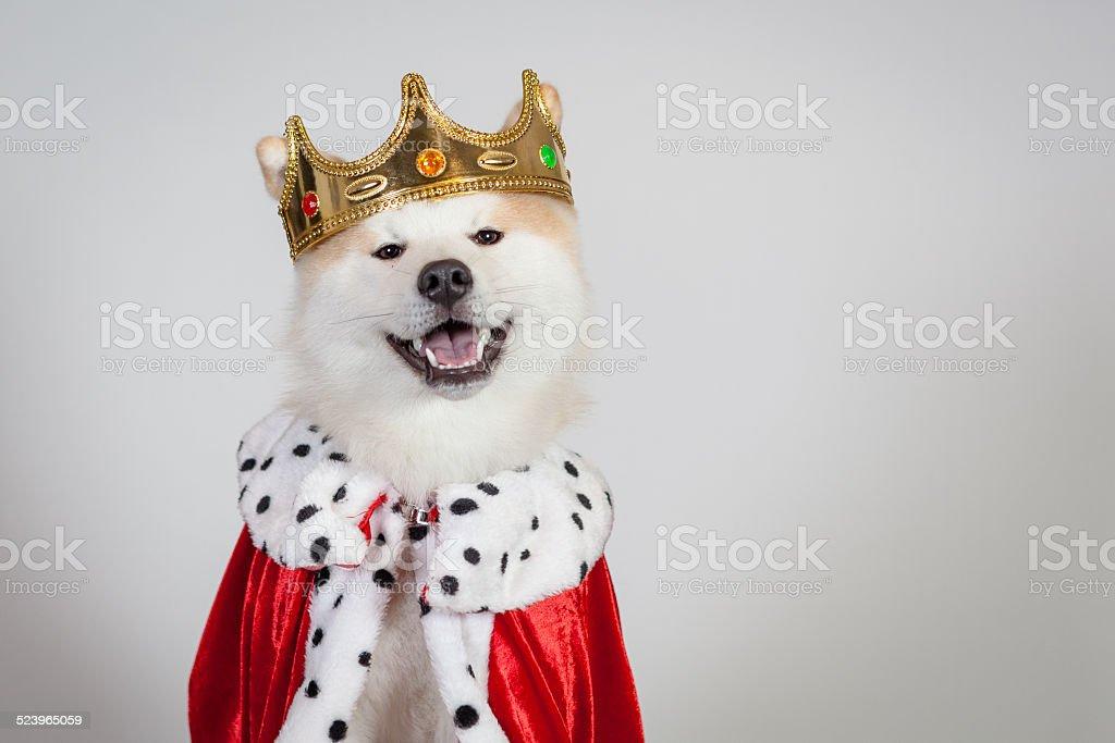 dog akita inu king stock photo
