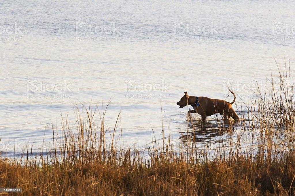 Dog Alert royalty-free stock photo