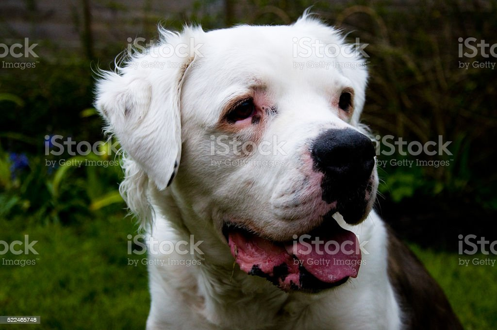 Dog, American Bulldog stock photo