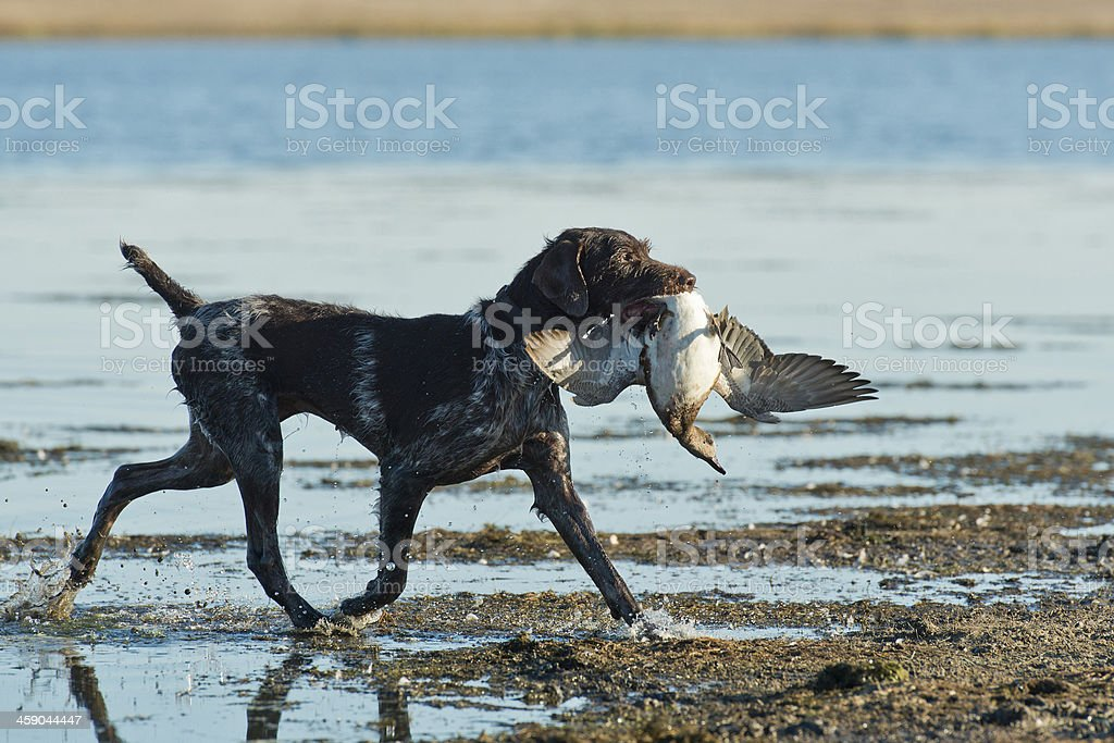 Dog and a duck stock photo