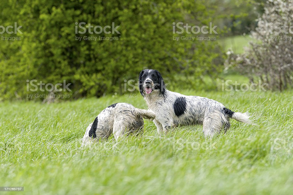 Dog and a half! stock photo