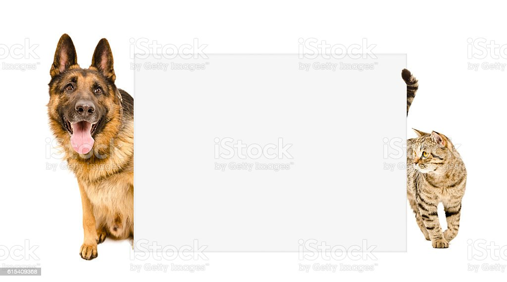 Dog and cat looking out from behind a poster Isolated on white...