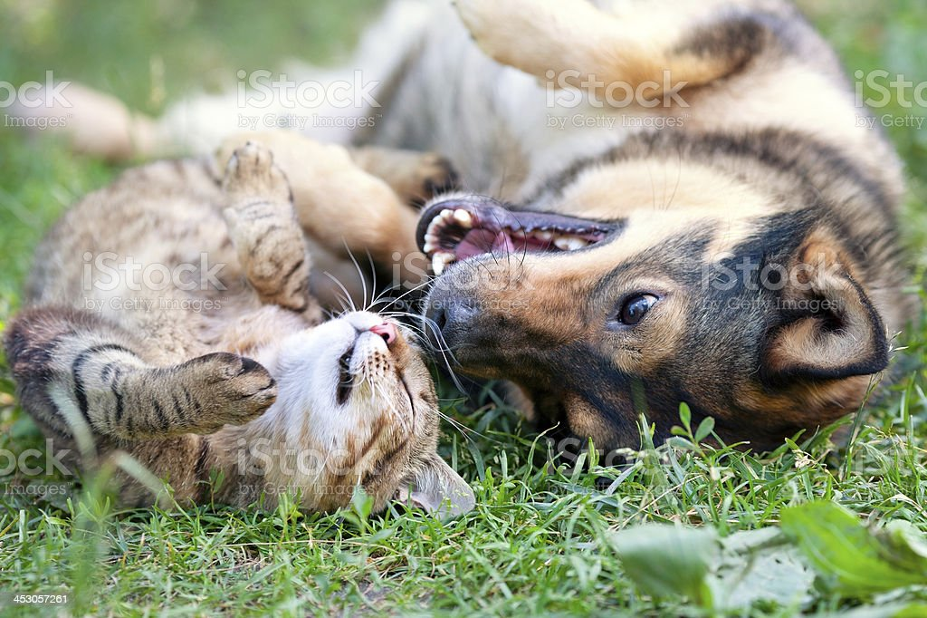 Dog and cat playing together stock photo