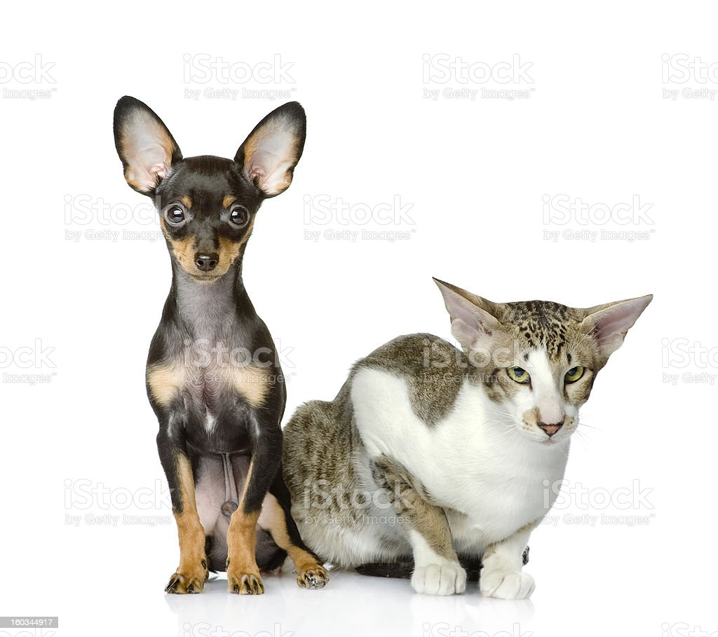 dog and cat watchfully look in the camera royalty-free stock photo