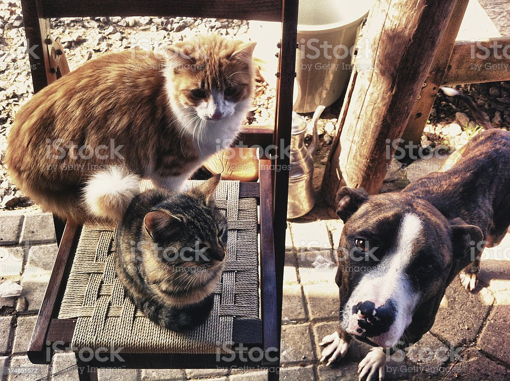 Dog and cats playing together royalty-free stock photo