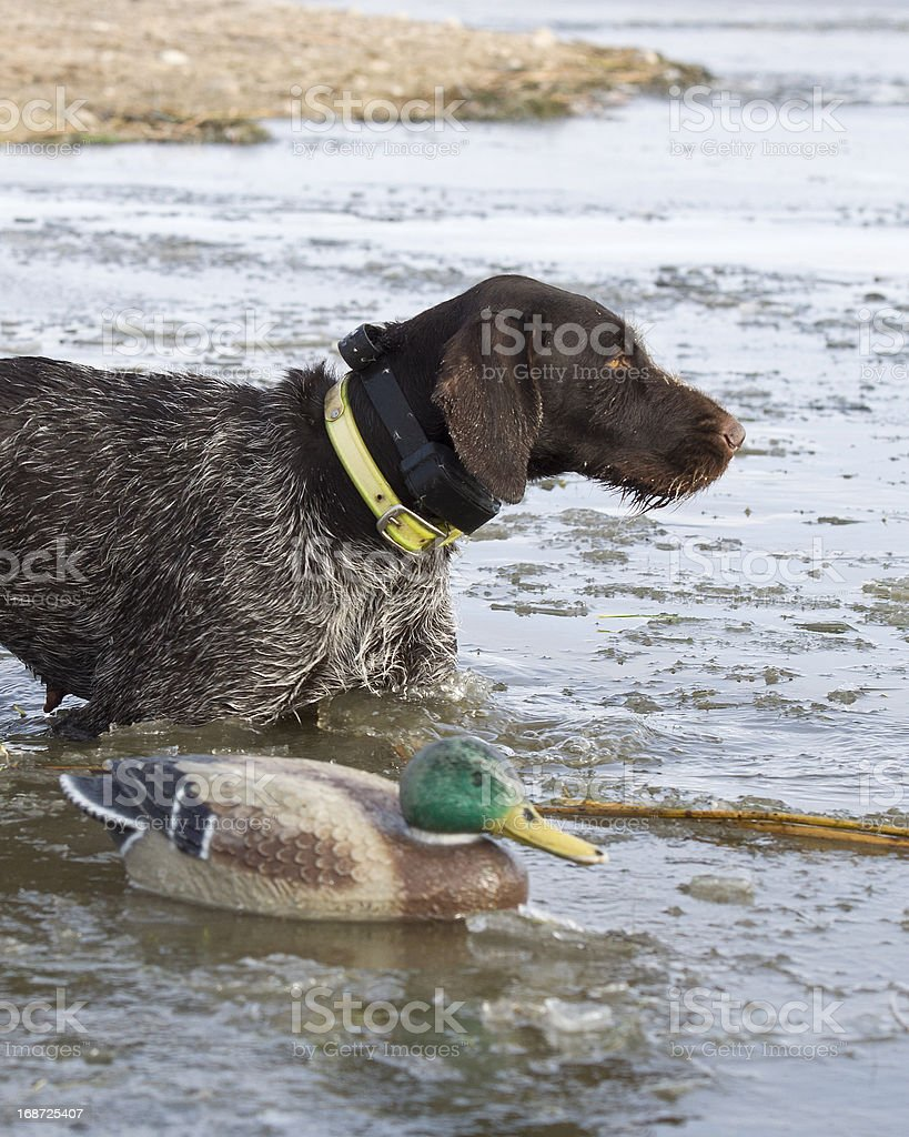 Dog and decoy royalty-free stock photo