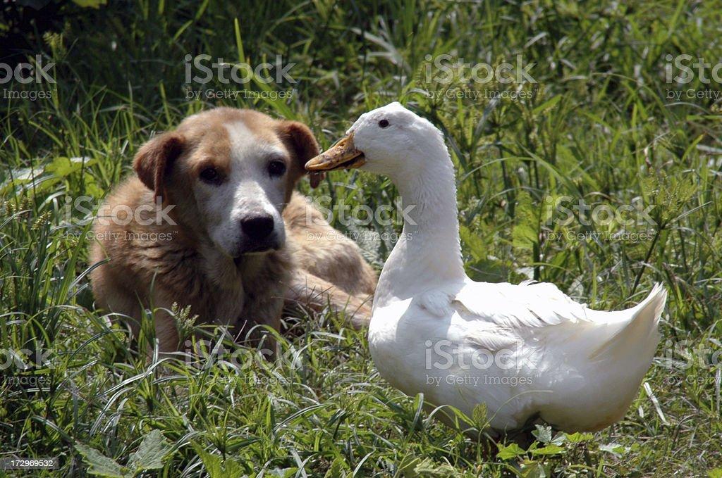 Собака и утка Конфронтация Стоковые фото Стоковая фотография