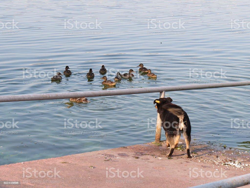 Dog and ducks stock photo